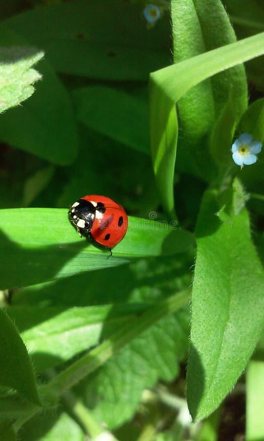 Ladybug on the grass. Macro photo of ladybug on the grass stock images