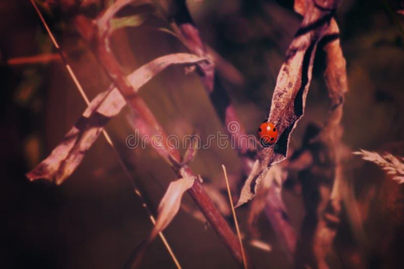 Ladybug on grasses royalty free stock image