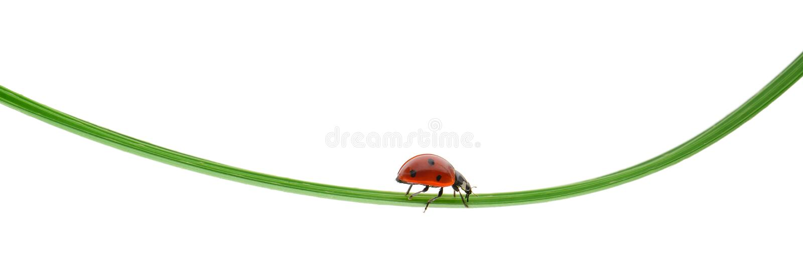 Ladybug on a green blade of grass. Isolated on white background stock image