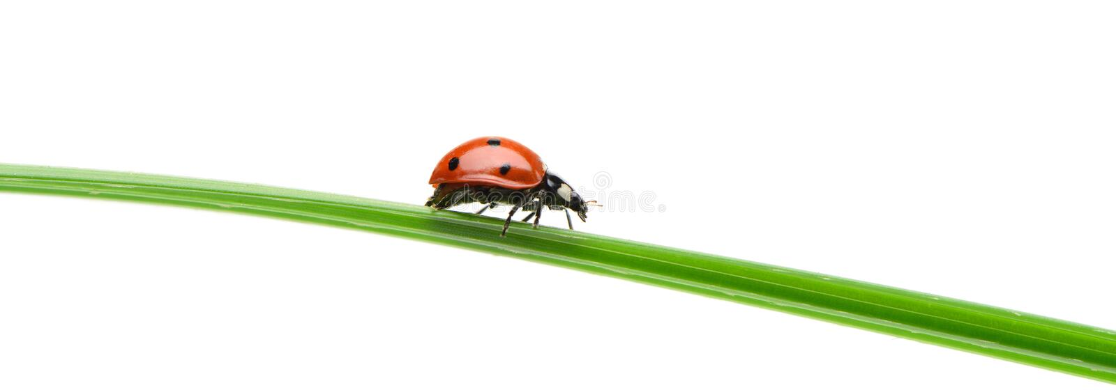 Ladybug on a green blade of grass. Isolated on white background royalty free stock image