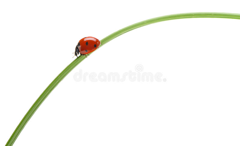 Download Ladybug On A Green Blade Of Grass Stock Image - Image: 26911063
