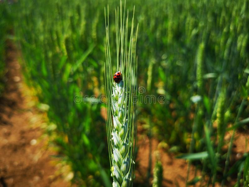 A  ladybug and the green ear of wheat. The ear of wheat is green.The ladybug is red.It royalty free stock image