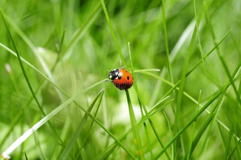 Ladybug In Green Grass Free Public Domain Cc0 Image