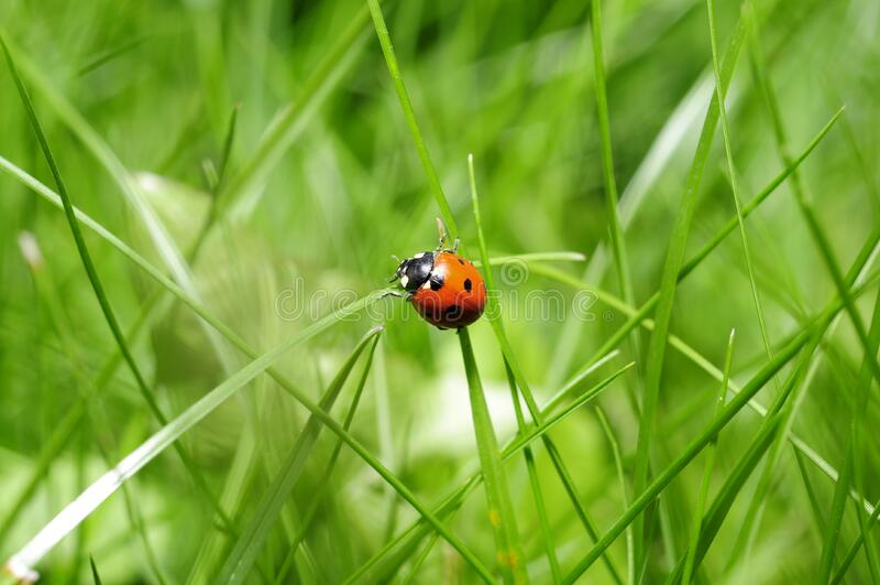 Ladybug in green grass stock photo