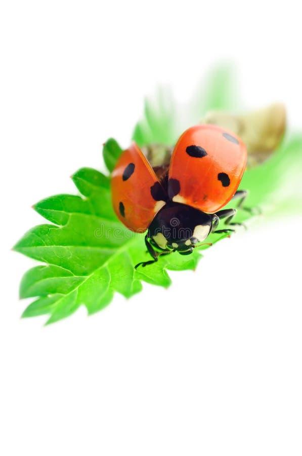 Download Ladybug on green leaf stock photo. Image of flying, animal - 20884592