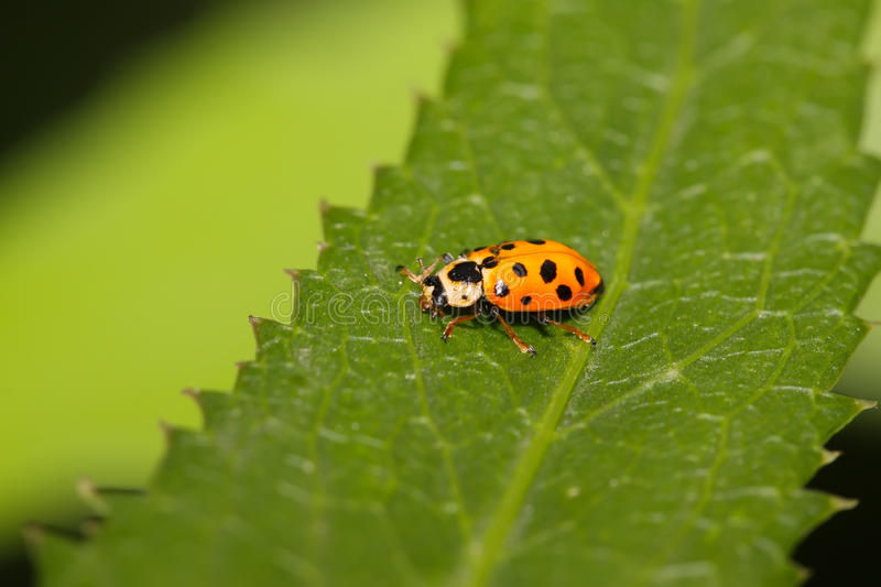 Ladybug on green leaf. A kind of insects named ladybug on green leaf stock image