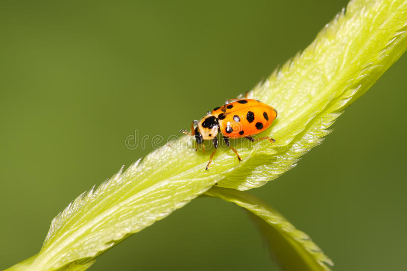 Ladybug on green leaf. A kind of insects named ladybug on green leaf stock photo