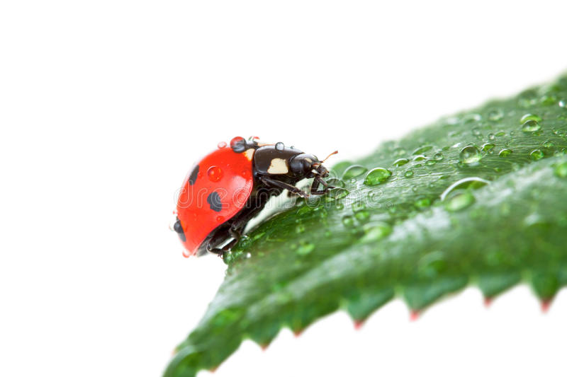 Download Ladybug on a green leaf stock image. Image of insect - 24276489