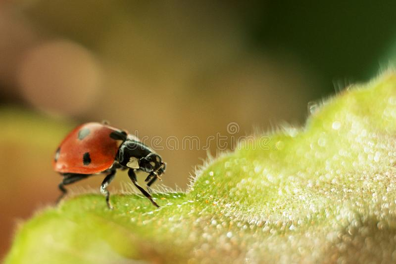 Ladybug on a green leaf, macro photography, close-up plan, plant geranium and insect. Water drops, glare, bokeh stock photos