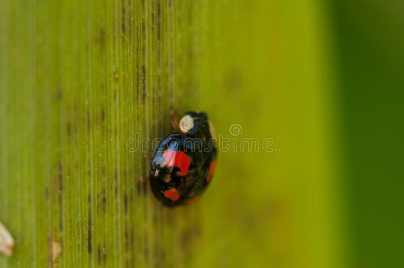 Ladybug on the green leaf in nature.Insect stock photos