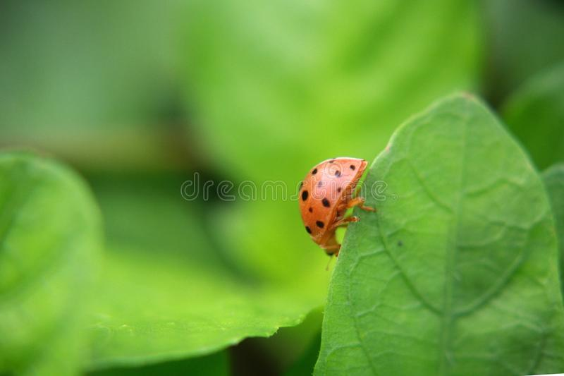 Ladybug on green leaf plant, close up. Closeup photo of a ladybug climbing a green leaf on a sunny day with a blurred background royalty free stock photography