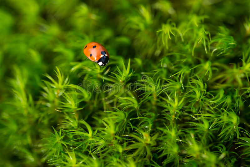 Ladybug on the green moss, close up with small depth of field royalty free stock photos