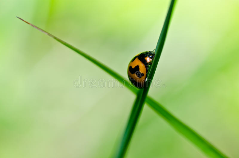 Ladybug in green nature stock photography