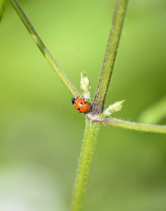 Ladybug in the green plant . bugs and insects world. Nature in spring concept stock photography