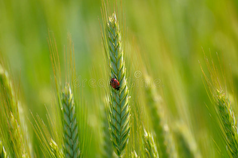 Ladybug On Green Wheat Ear. With shallow depth of field on sunny day in spring royalty free stock photography