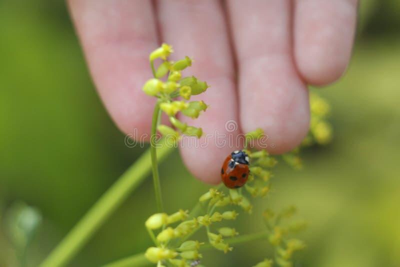 Ladybug on the hand. Ladybug on grass background stock image