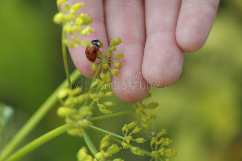 Ladybug on the hand. Ladybug on grass background stock photo