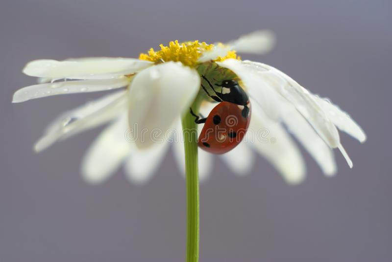 Ladybug hid under the petals of a Daisy on a blue background royalty free stock image