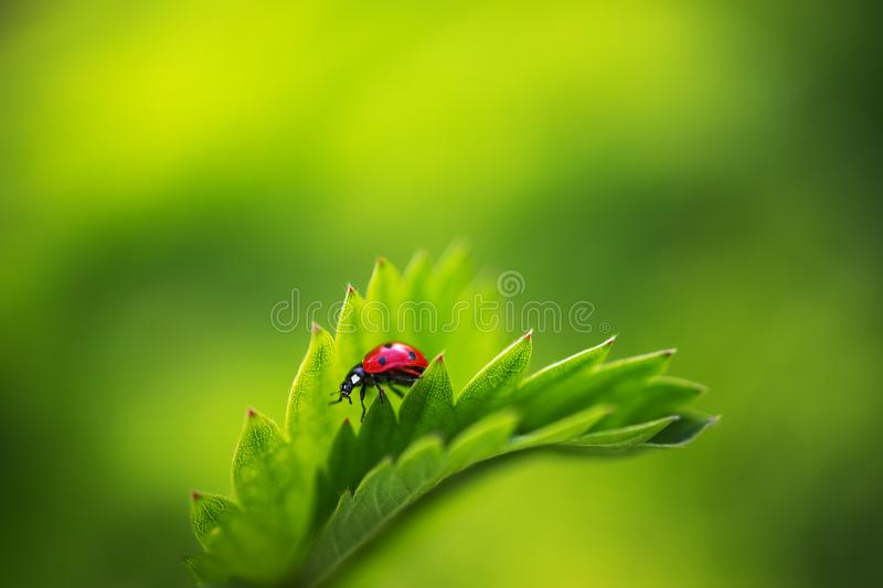 Ladybug insect walking on fresh green leaves in countryside field, beautiful spring day royalty free stock images