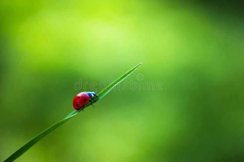 Ladybug insect walking on fresh green leaves in countryside field, beautiful spring day royalty free stock photos