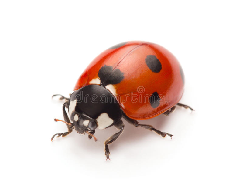 Ladybug. Isolated on white background