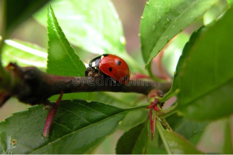 Ladybug on its way royalty free stock photography
