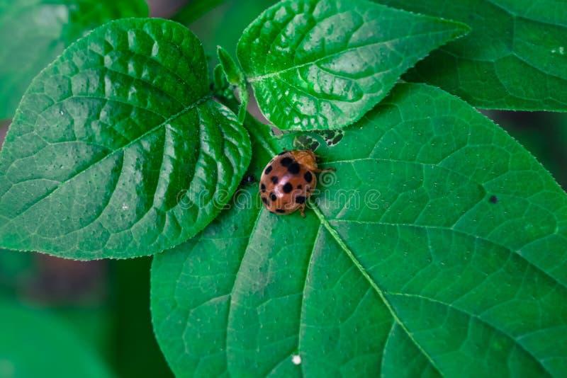 Ladybug/ladybird стоковое изображение