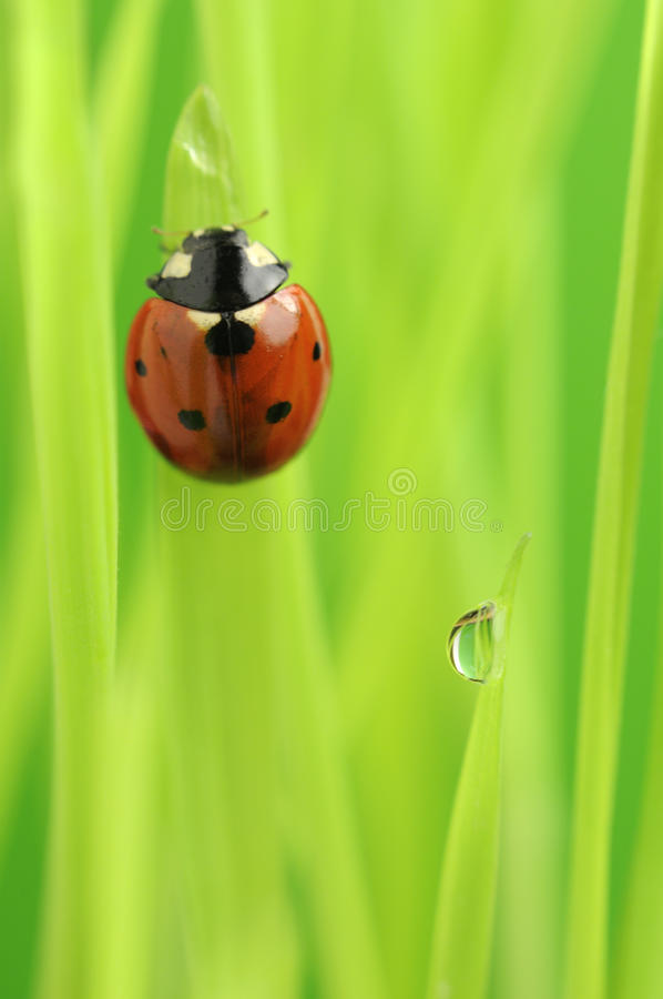 Ladybug ladybird crawling on green grass with water drop stock photos image 31953993 - Ladybug watering can ...