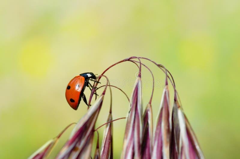 Ladybug climbing on flower royalty free stock photos