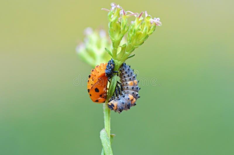 The ladybug larva and pupa. The closeup of a ladybug larva and pupa stock images