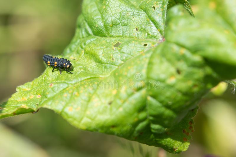 Ladybug Larvae. Second Stage. Close up photo of second stage ladybug larvae on green leaf. There are four stages in all stock photo
