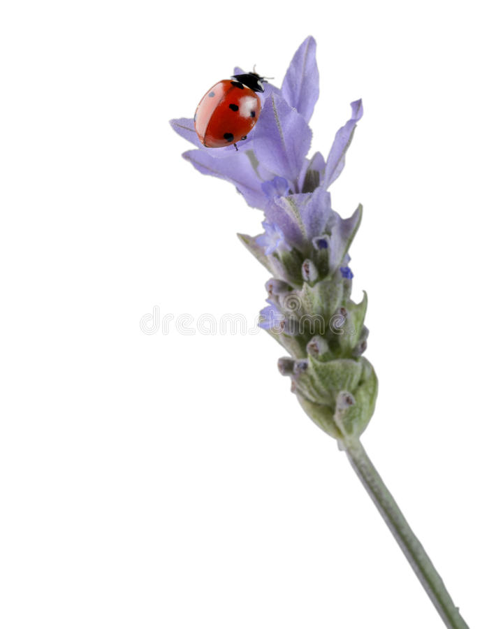 Download Ladybug on lavender stock photo. Image of beauty, bunch - 13960310