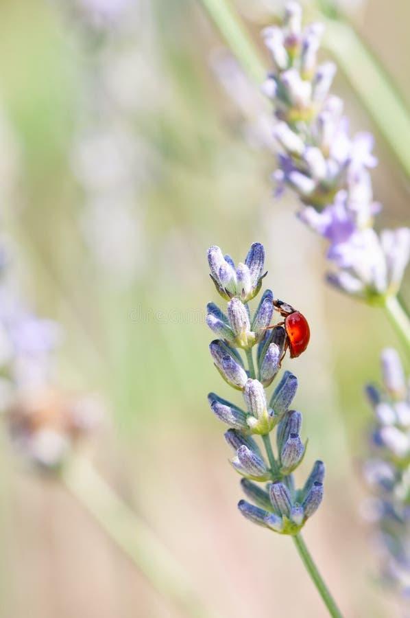 Ladybug on lavender angustifolia, lavandula blossom in herb garden in evning sunlight, sunset stock photo