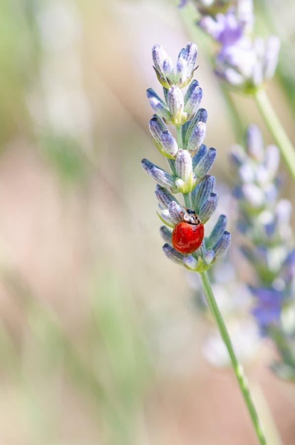 Ladybug on lavender angustifolia, lavandula blossom in herb garden in evning sunlight, sunset stock photos