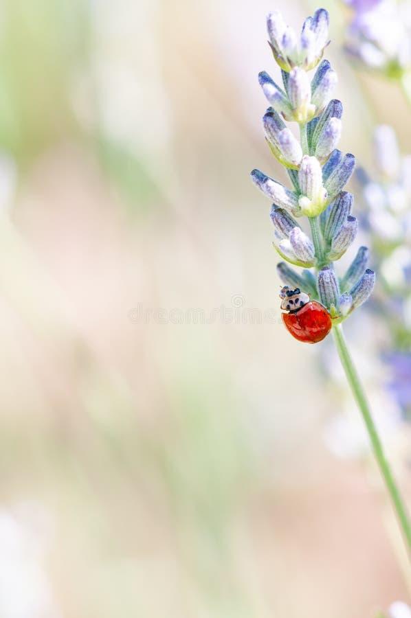 Ladybug on lavender angustifolia, lavandula blossom in herb garden in evning sunlight, sunset royalty free stock image