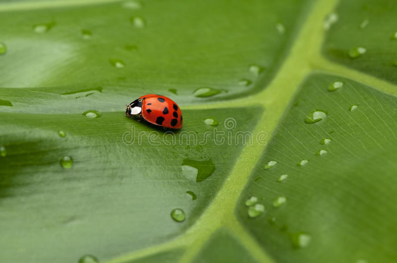 Download Ladybug on Leaf stock photo. Image of animal, green, raindrops - 19201880