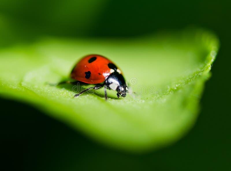 Download Ladybug on a leaf. stock image. Image of drops, black - 39248057