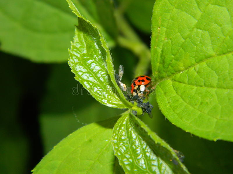 Ladybug on leaf stock image