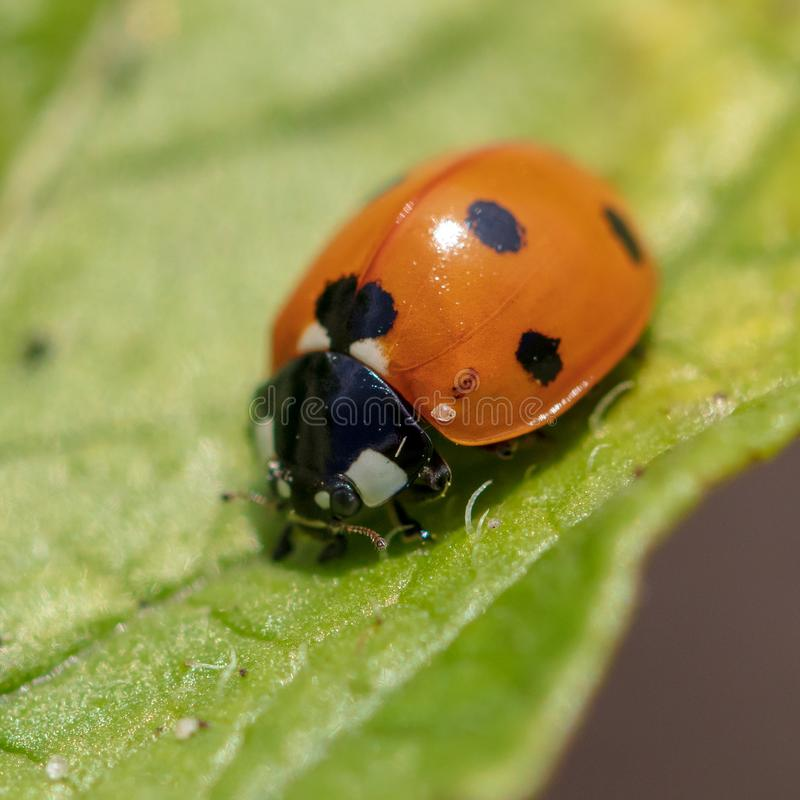 A ladybug on the leaves of a plant stock image