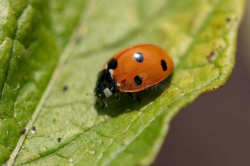 A ladybug on the leaves of a plant royalty free stock photo