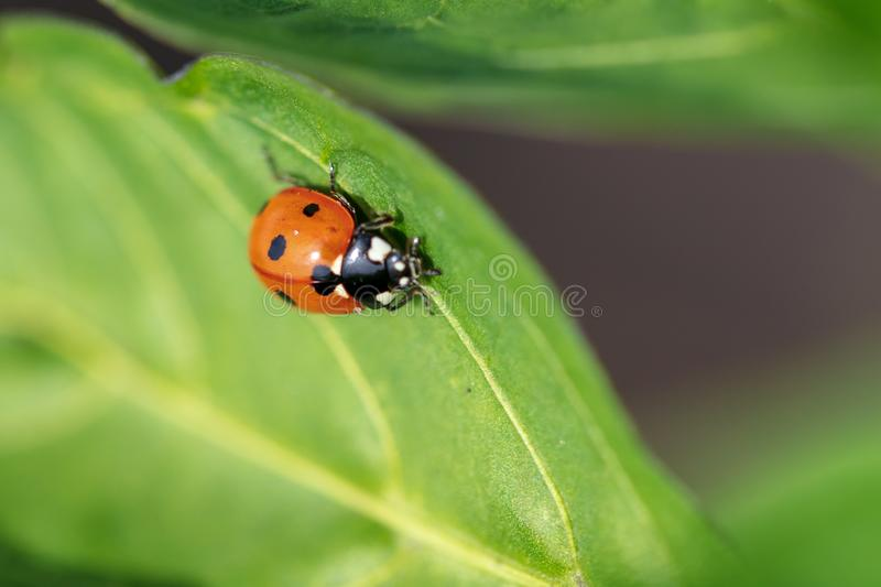 A ladybug on the leaves of a plant stock photos