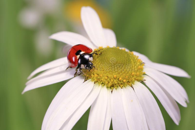 Ladybug leisurely runs on a field flower named Daisy. royalty free stock image