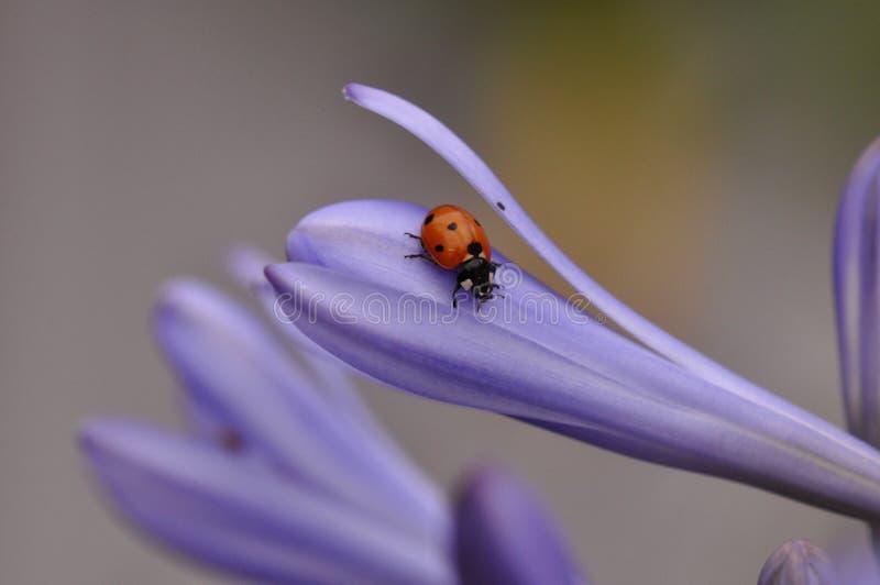 Ladybug on Lily flower stock images