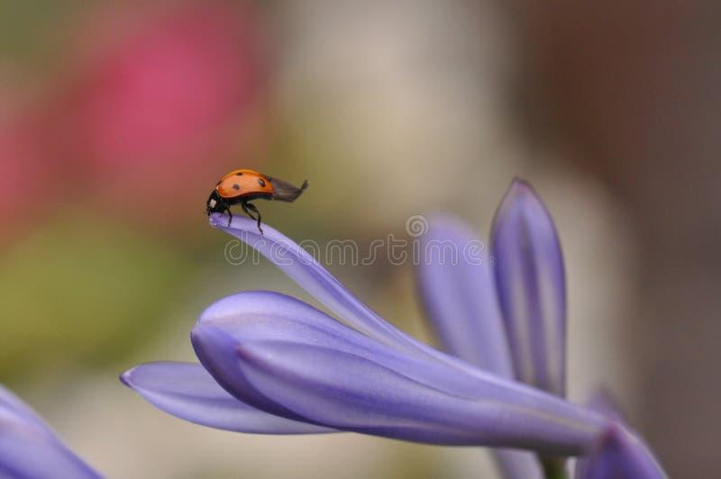 Ladybug on Lily flower royalty free stock photography