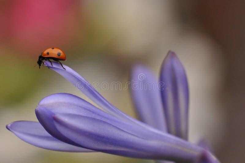 Ladybug on Lily flower stock photos