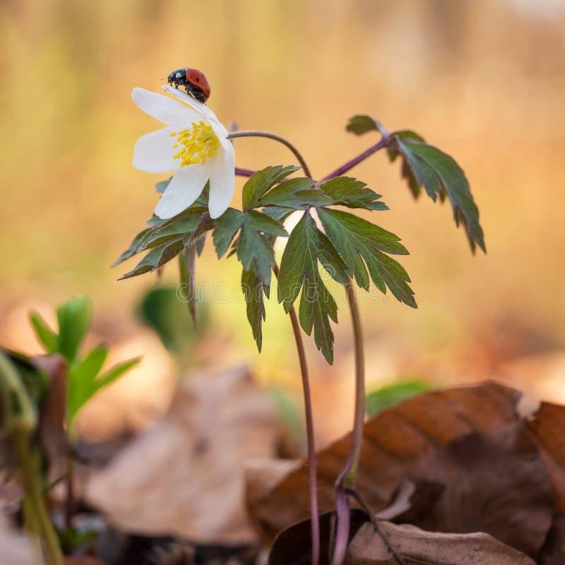 Ladybug on the lovely white spring wild anemone flower royalty free stock photography