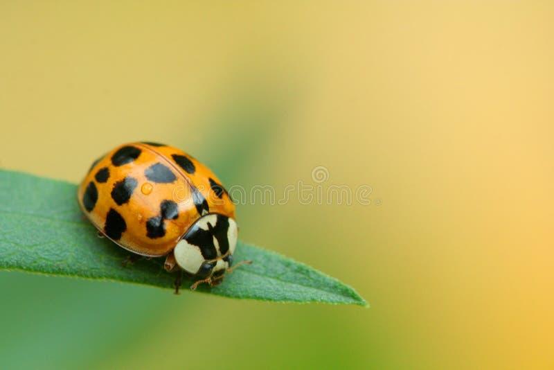 Ladybug a macroistruzione fotografie stock