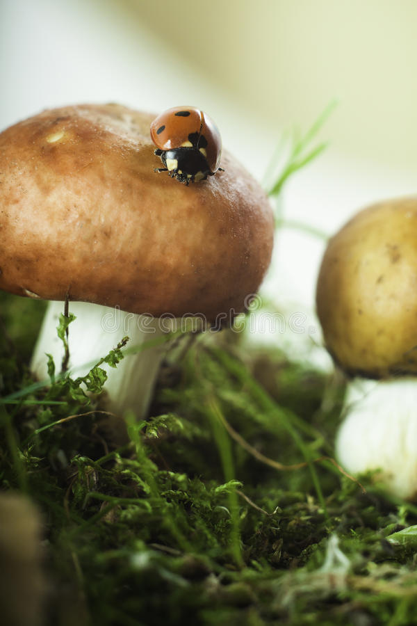 Ladybug on a mushroom in the forest moss. With a small depth of field stock image