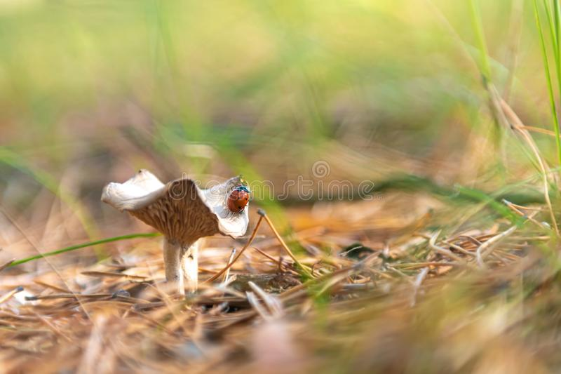 Ladybug on mushroom in the forest, selective focus royalty free stock photos