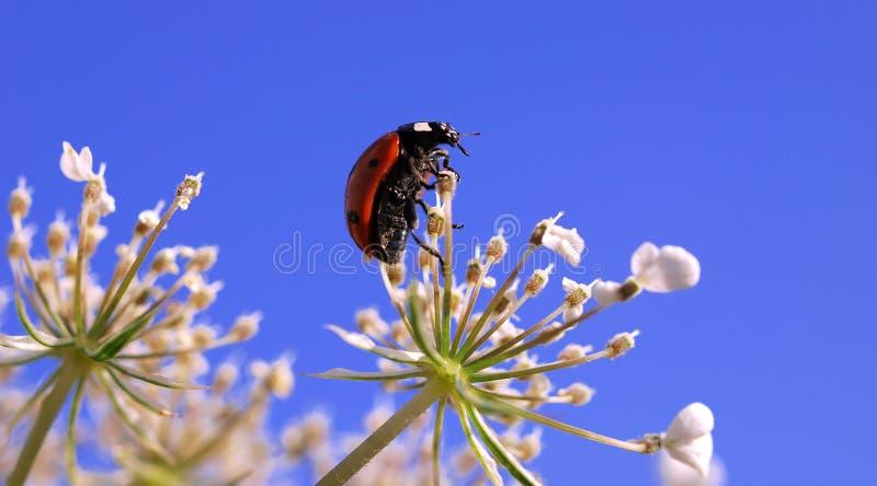 Ladybug na flor fotos de stock royalty free